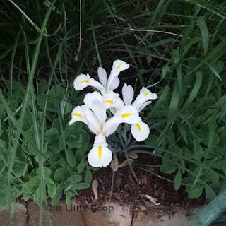 yellow and white iris side border garden