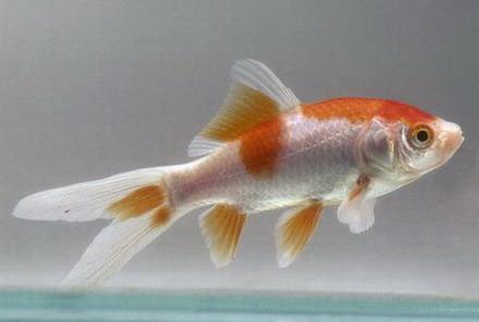 Penyebaran Ikan Hias Maskoki di Eropa dan Amerika | Bud