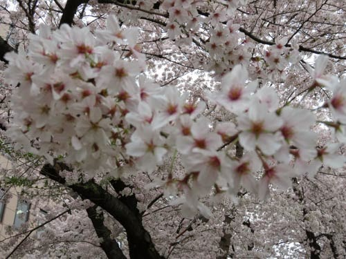 神田明神の桜08