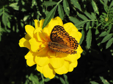 Marbled Fritillary Butterfly on Marigold