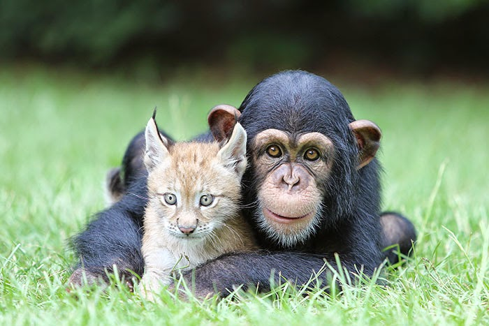 #16 Baby Chimp And Lynx - Unusual Animal Friendships That Are Absolutely Adorable!