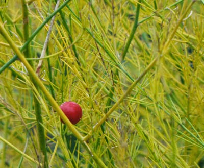 asparagus berry