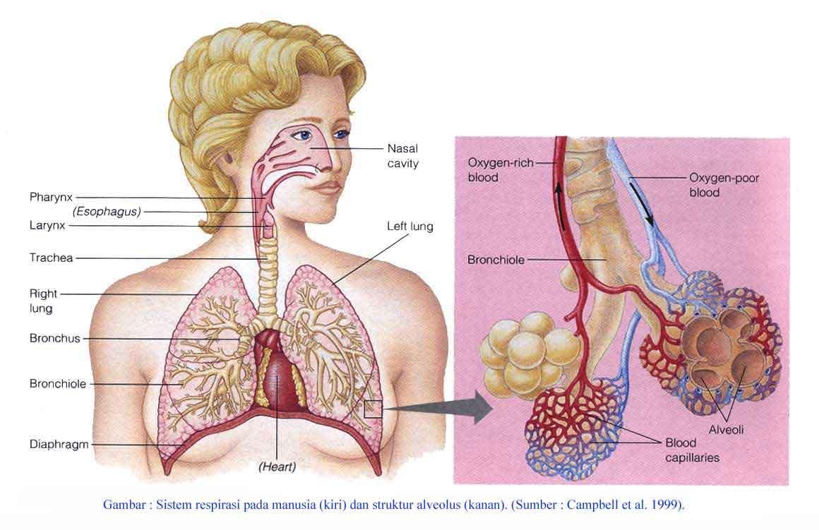 alat pernafasan manusia