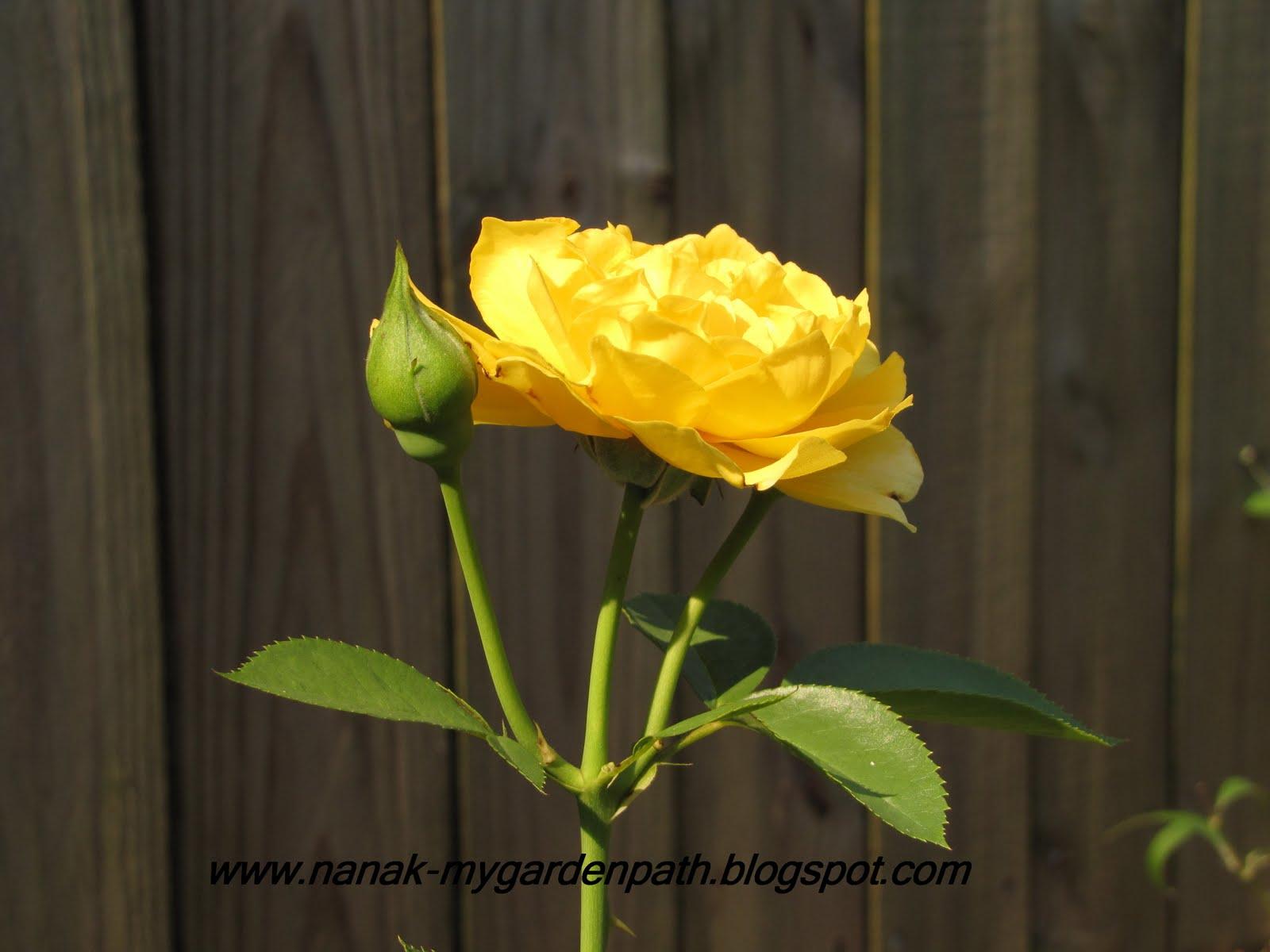 My Garden Path: Summer Roses