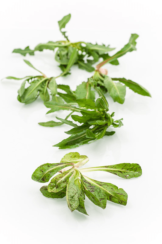 Cichorium Intybus L divji radič ali cikorija solo focus