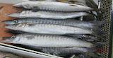 Torsillo - Philippine fish
