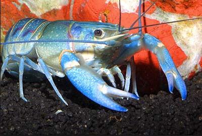 tetapi masih belum tahu bagaimana sih cara budidaya lobster yang baik