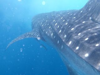 A whale shark swimming with a pair of remoras beneath it