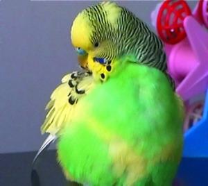 как избавить попугая от паразитов