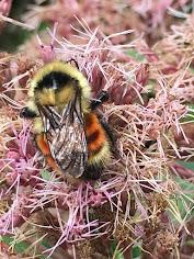 Cutie Bumble Bee on Joe Pye Weed