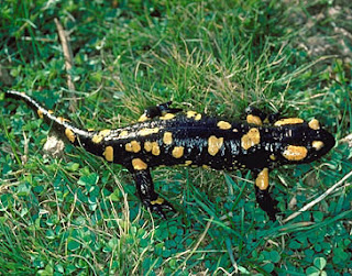Salamandra salamandra - Salamandra común