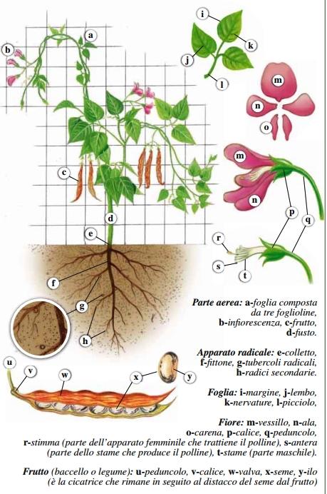 I fagioli coltivazione e cura piante in fiore e il mio - Calendario semina fiori ...