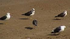 livingston seagull