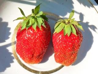 vkusniogorod, клубника Солнечная Полянка, ягоды