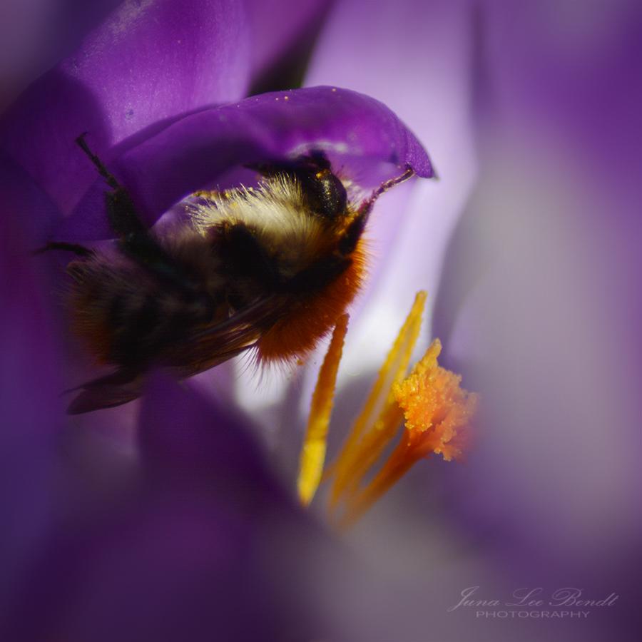 Frühling - Hummel in Krokus