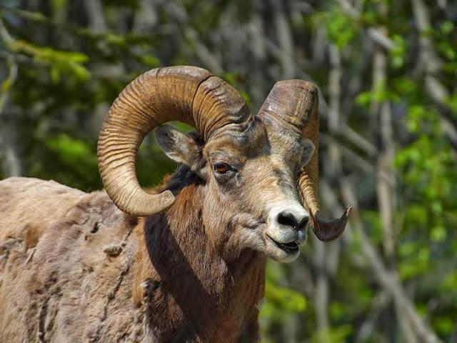 "<img src=""http://4.bp.blogspot.com/-Axspo94KusY/UrAixaCPJJI/AAAAAAAAF4g/_9ZmLC1GiuI/s1600/t33.jpeg"" alt=""Sheep Animal wallpapers"" />"