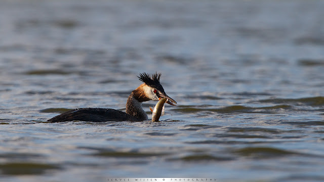 Fuut - Great Crested Grebe - Podiceps cristatus