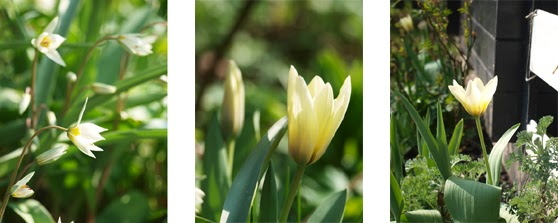 Botanisk tulipan, Tulipa turkestanica, og tidligtblomstrende tulipan Concerto.Tulipaner der blomstrer tidligt.