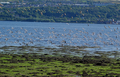 Oystercatcher Starlings flock