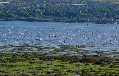 Oystercatcher Starlings flock