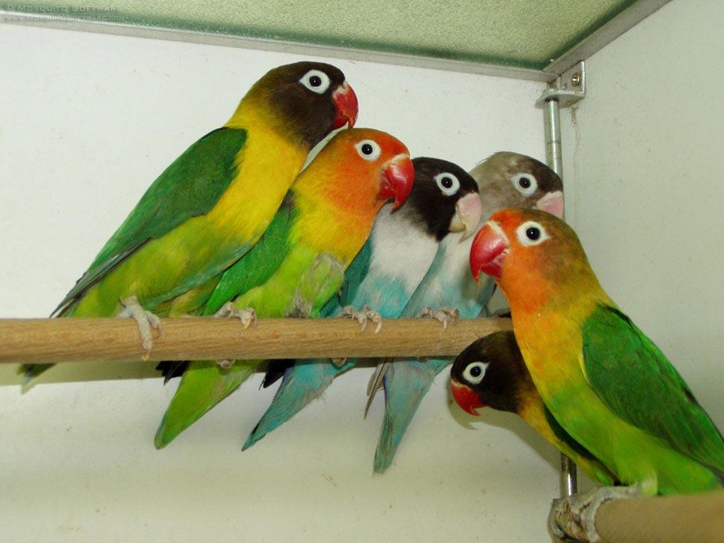 burung warna warni cara menjodohkan lovebird