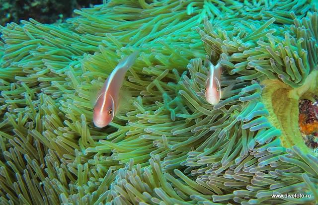 Два розовых рыбы клоуна