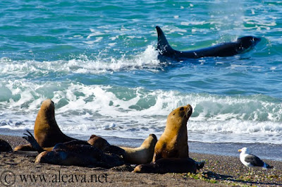 sea lions in Punta Norte watching a Big Orca