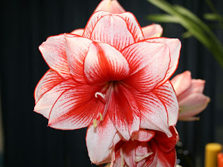red & white maryllis