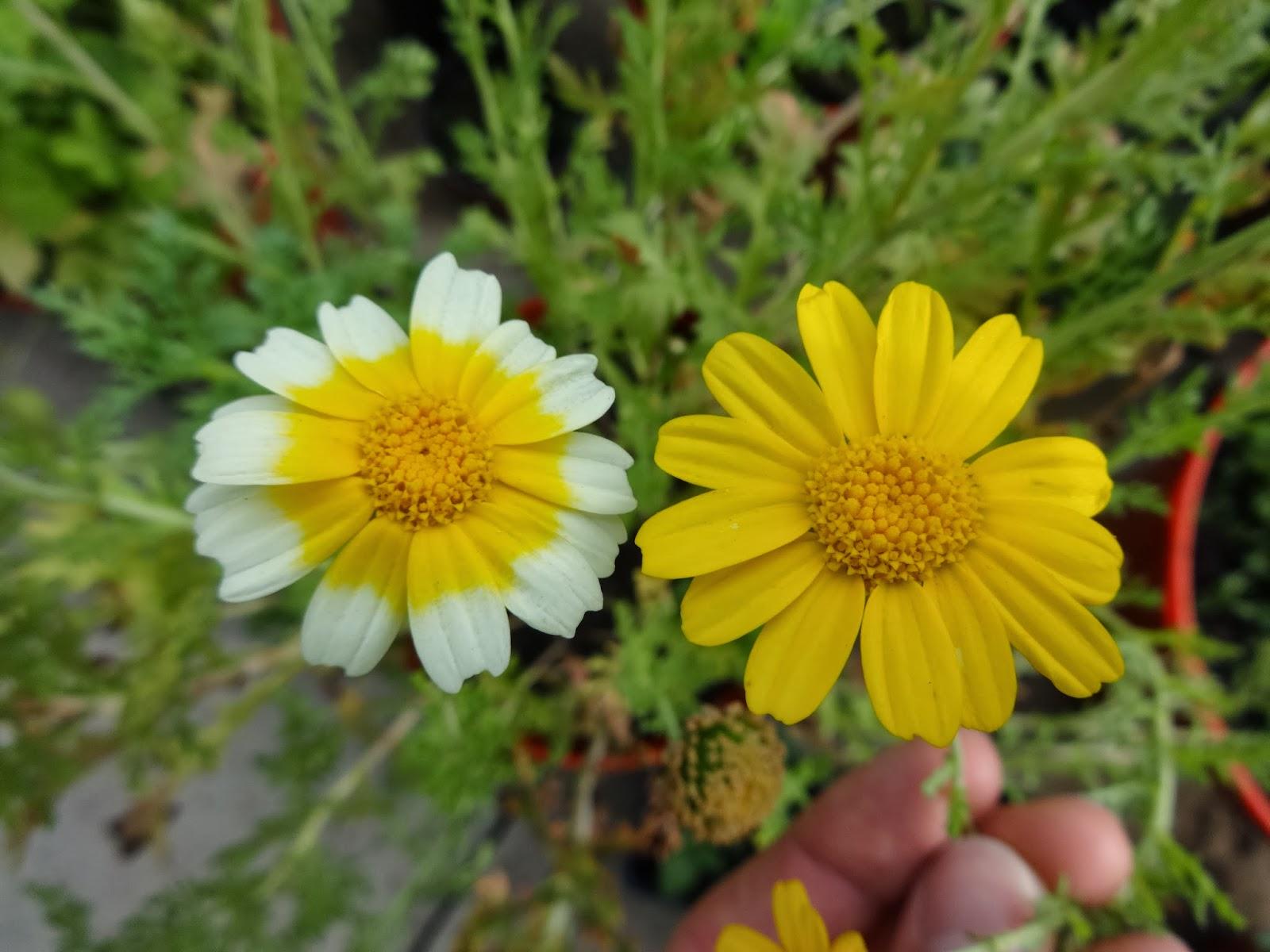 Herbs from distant lands chrysanthemum coronarium chop suey chrysanthemum coronarium chop suey greens crown daisy izmirmasajfo