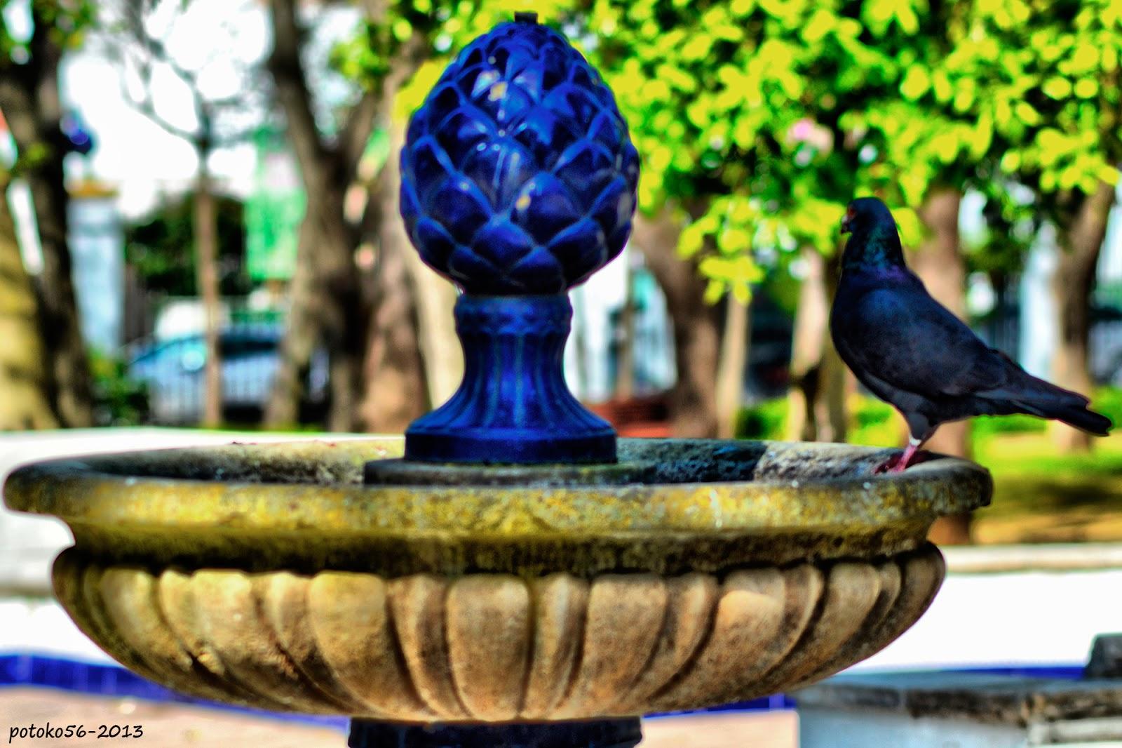 Una paloma en la fuente Parque del Mayeto Rota