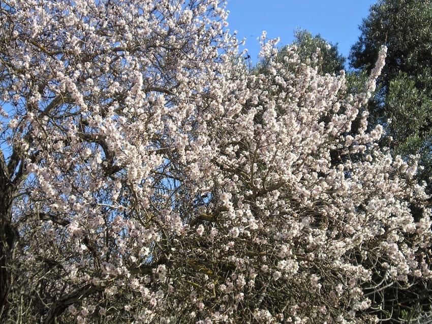 amandier en fleur Algarve