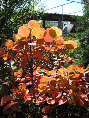 Golden Spirit smokebush fall color