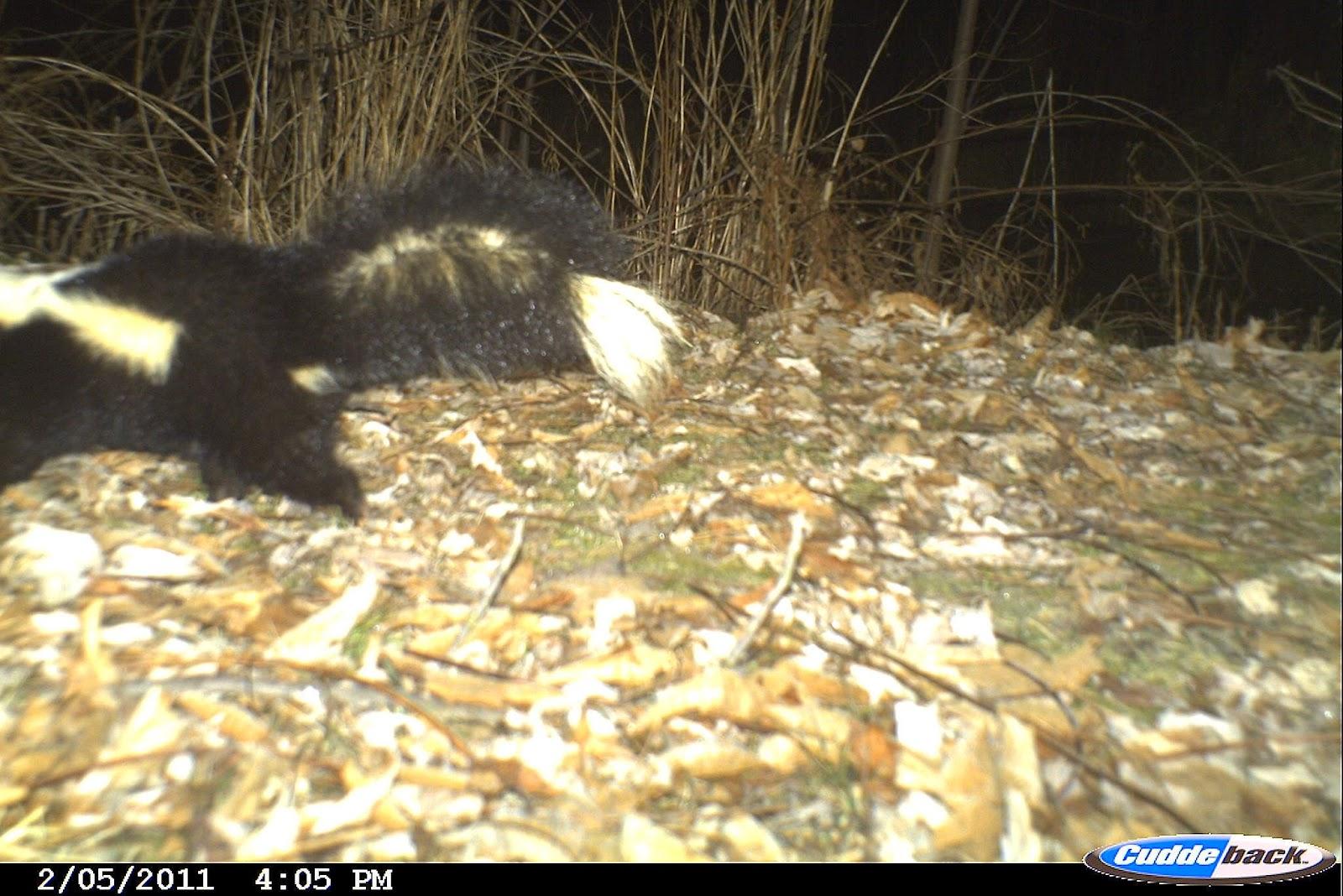 backyard beasts a surfeit of skunks