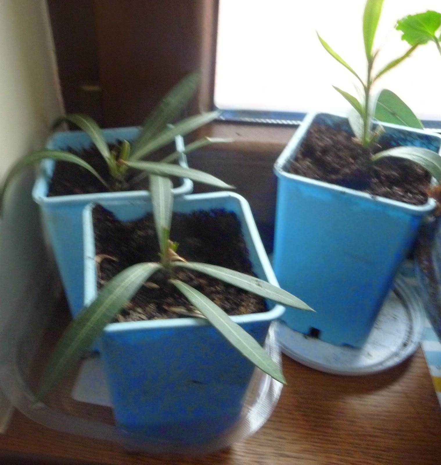 jak ukorzenić oleander