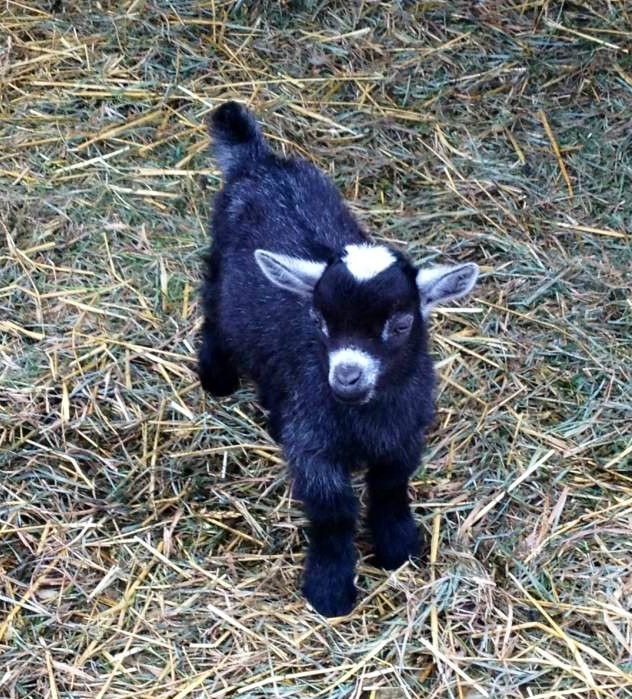 baby goat, funny animal pictures, animal photos, funny animals