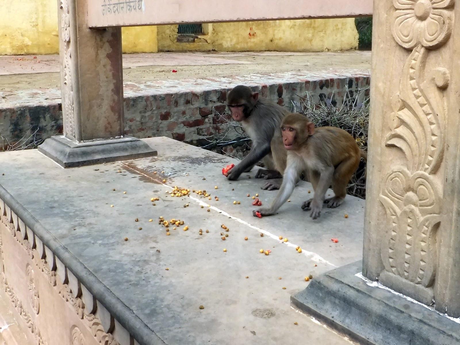 обезьяны подбирают еду в храме