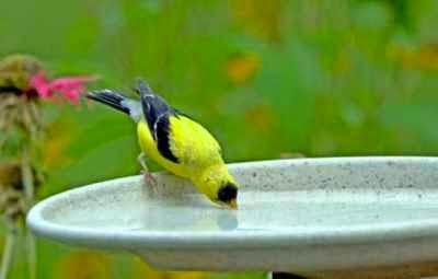 pentingnya-air-minum-segar-untuk-burung