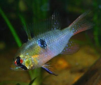 Fish Index Ram Cichlid Papiliochromis Ramirezi