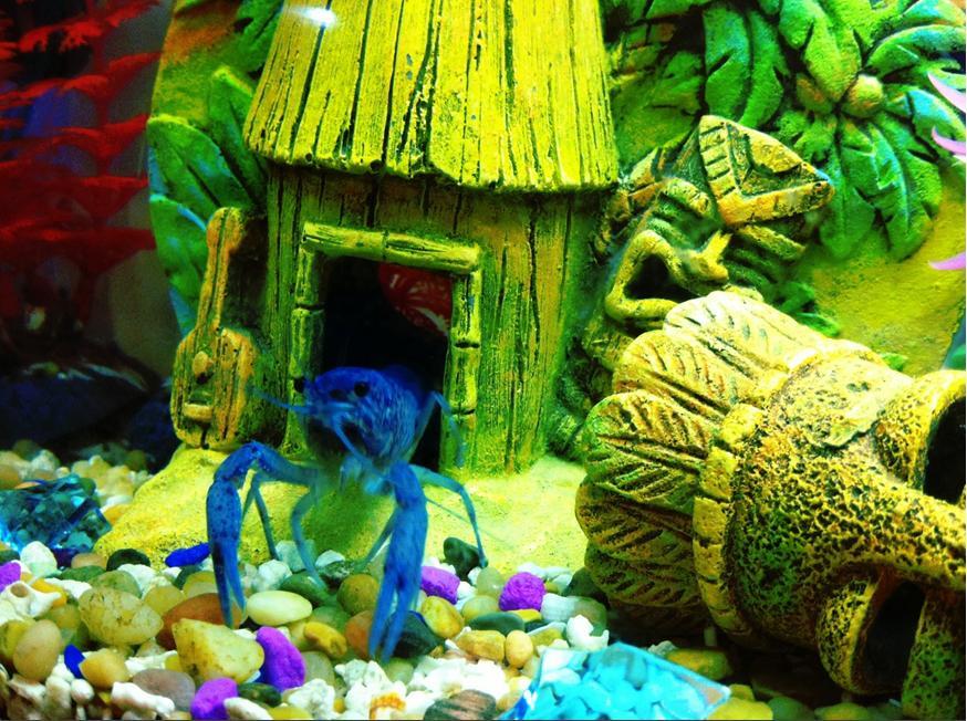 Aquarium Lore: Blue Lobster / Blue Crayfish