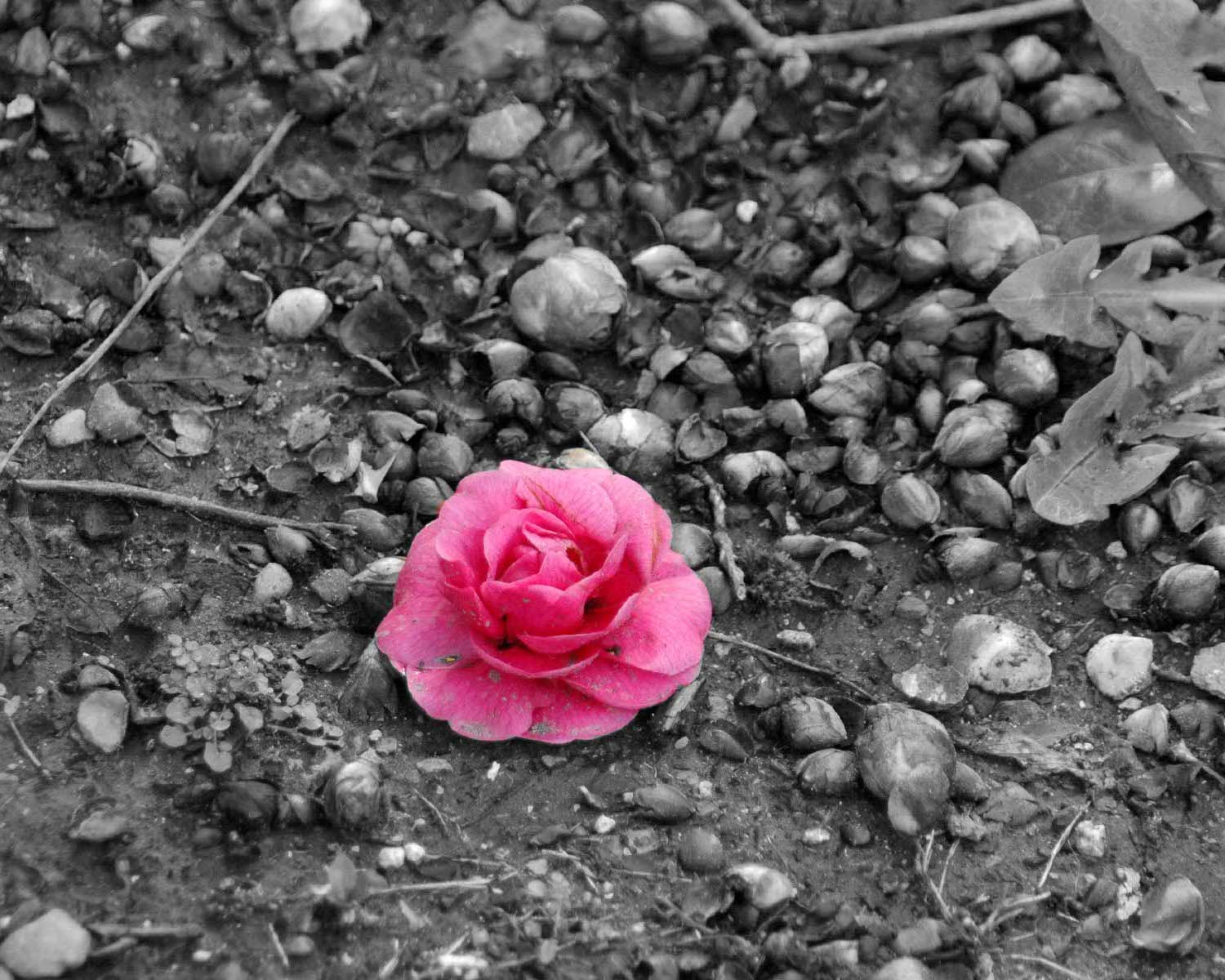 Black And White Pink Flowers Topsimages