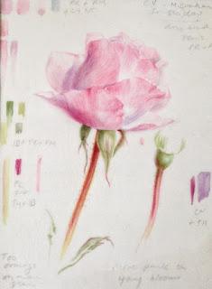 Rose sketch on vellum