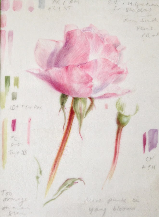 Rose sketch on vellum