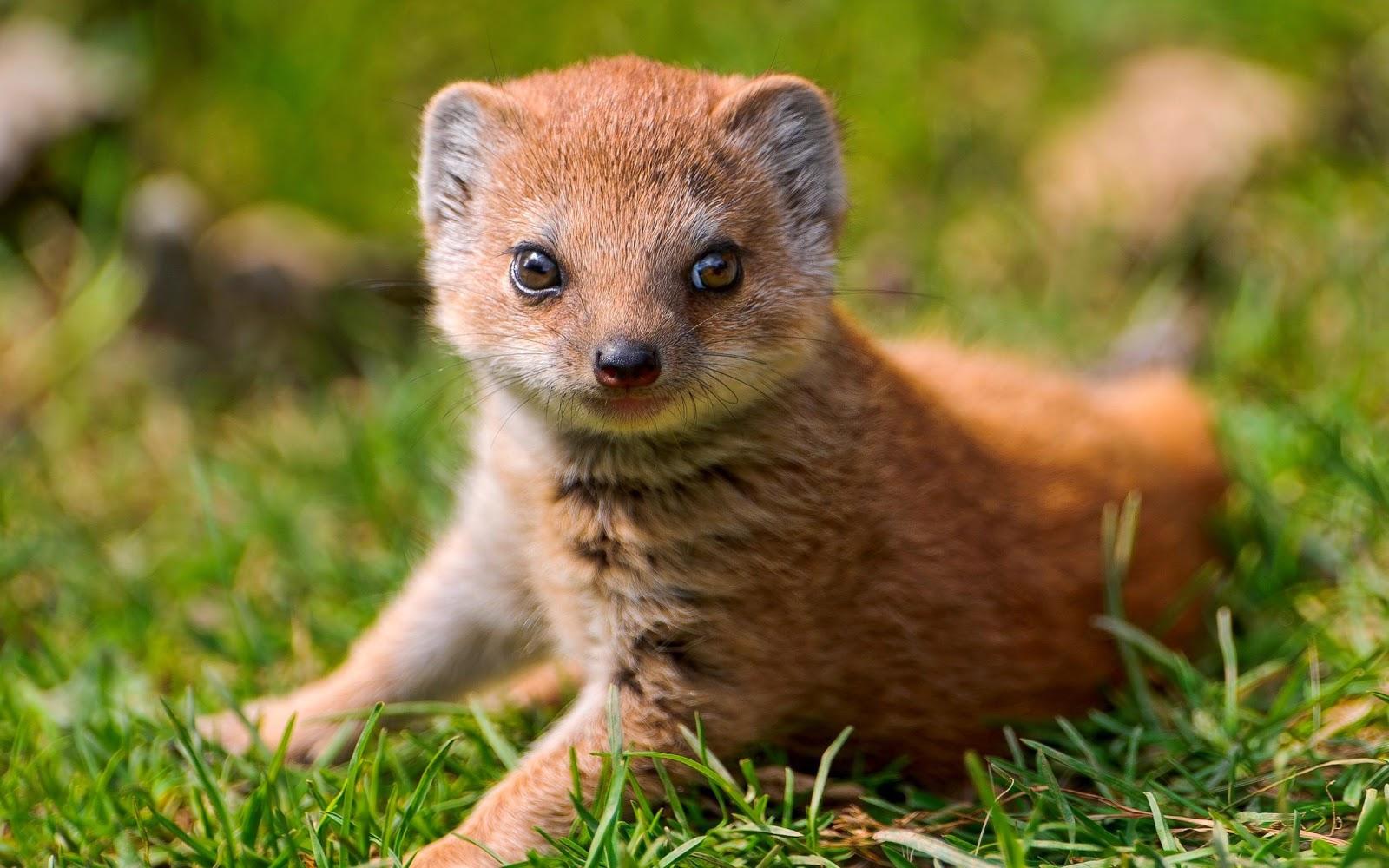 Mangosta Mongoose