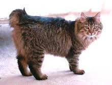American Bobtail is a medium to large,