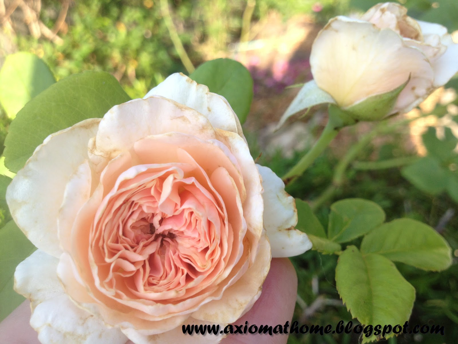 Axiom At Home: Natural Treatments for Black Spot (on Roses)