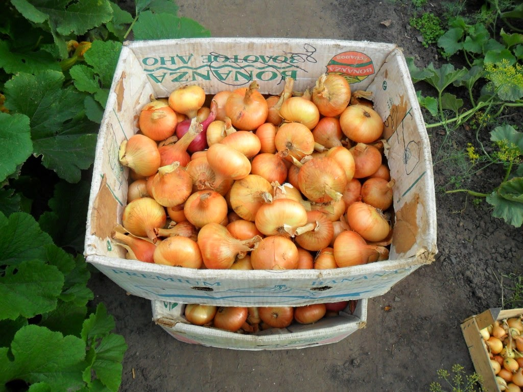 урожай озимого лука-репки