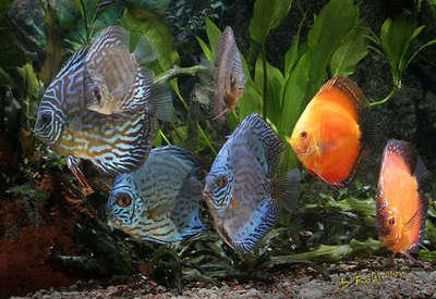 Sinking fish food for discus for Discus fish food