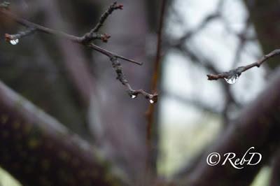 trädgrenar med vattendroppar. foto: Reb Dutius