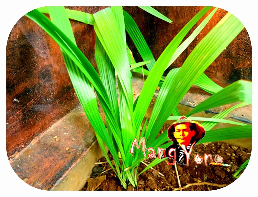 Bawang Dayak Atau Bawang Sabrang Mempunyai Banyak Khasiat ~ Blog Mang ...