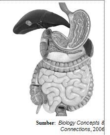 Sistem  pencernaan manusia. Serangkaian organ-organ membentuk sistem pencernaan
